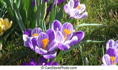 Tilt of purple crocuses