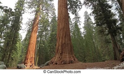 Tilt up giant Sequoia trees in Yosemite Park - Tilt up giant...