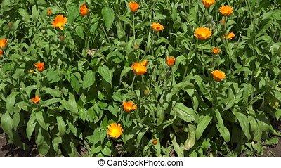 wicker plate marigold flower and blossom in summer garden....