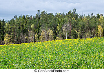 Rapeseed field with woods in background