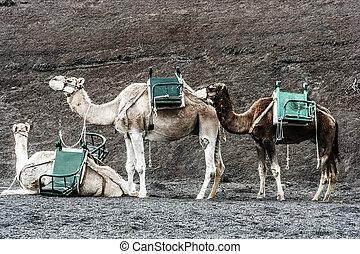 timanfaya, guidé, parc, touristes, tour, chameaux, national...