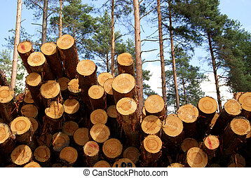 Pile of pine timber logs in pine forest - detail.