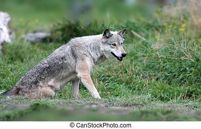 Timber Wolf - a lone wolf