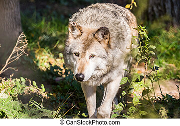 Timber wolf - A mature timber wolf in the woods