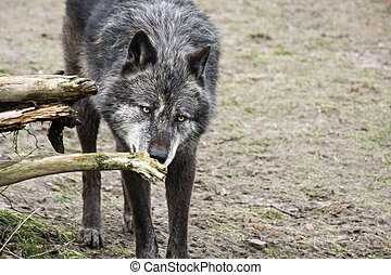 Timber wolf - Black timber wolf (Canis lupus)