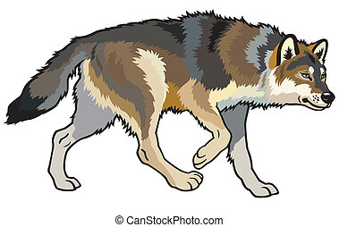 wolf - timber wolf, canis lupus, wild animal of eurasian ...