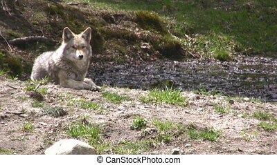 Timber Wolf - Eastern Grey Wolf Timber Wolf (Canis [lupus]...