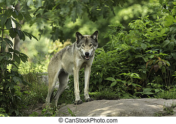Timber wolf in a forest