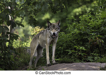 Timber wolf in forest