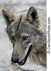 Timber Wolf Portrait - Portrait of a handsome Timber Wolf ...