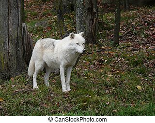 Timber wolf standing in the forest