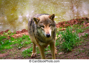 Timber Wolf - a portrait of a Timber Wolf in forest