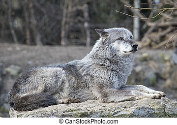 Timber Wolf - Timber wolf in the sun