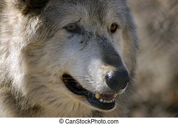 Timber Wolf - Timber wolf portrait face closeup