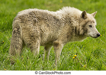 Timber wolf - White timber wolf in the green grass
