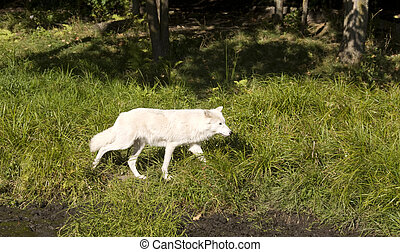 Timber wolf - White timber wolf walking in the grass on a ...