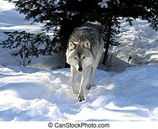 TIMBER WOLF WINTER