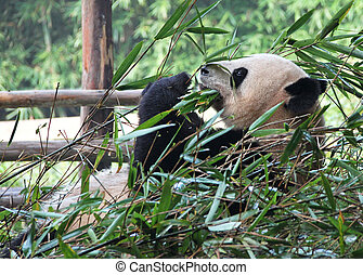 Time for lunch. Delicious bamboo for the giant panda.