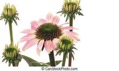 time-lapse, цветок, echinacea