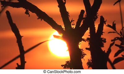 Time Lapse, Close Up , Sunset Through Branches, (native...