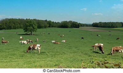 Time-lapse. Cows grazing in a meadow.