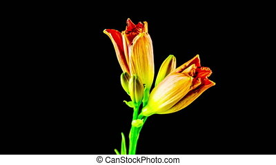 Time Lapse daylily on a black background - Time Lapse...
