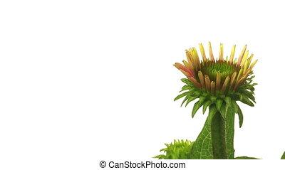 time-lapse, echinacea