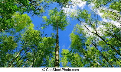 Time lapse european mixed forest. Tops of the trees. Looking up to the canopy. FHD stock footage.
