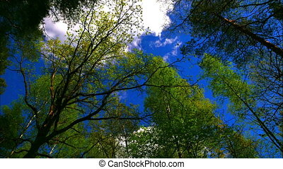 Time lapse european mixed forest. Tops of the trees. Looking...