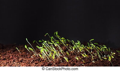 Time lapse video of green parsley seed germination in dark