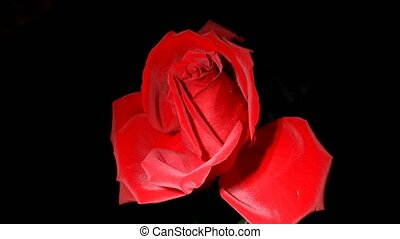 Time lapse footage of withered red rose