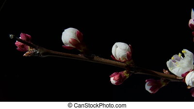 blooming apricot tree branch - Time-lapse of blooming...