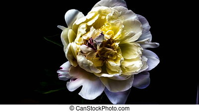 Time lapse of blooming white peony.