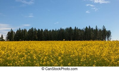 Time lapse of clouds and sky over yellow mustard field in...