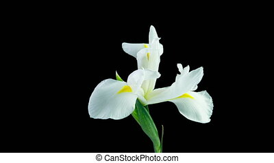Time lapse of flowering white iris on a black background, beautiful white flower video 4k.
