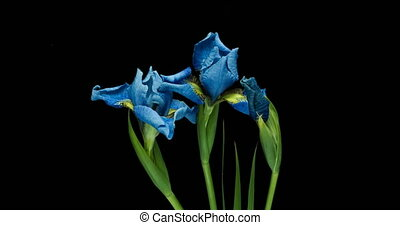 Time-lapse of growing blue iris flower