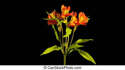 Time-lapse of opening and rotating  Alstroemeria