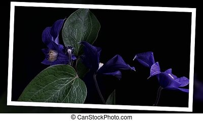 Time-lapse of opening dark blue flowers.