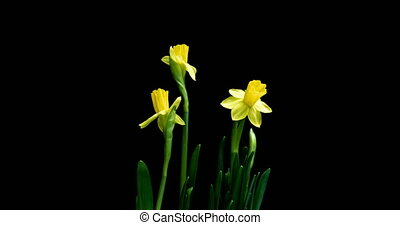 Time-lapse of opening narcissus on black background, alpha...
