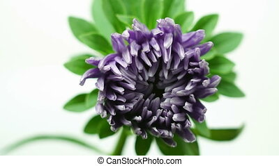Time-lapse of opening violet purple dahlia flower isolated...