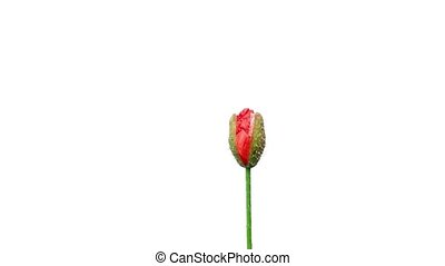 Time lapse of opening wild poppy flower, isolated on white with alpha mask.