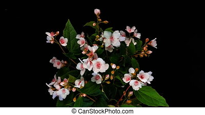 Time lapse of pink jasmine flowers on black background, beautiful unusual pink jasmine flowers 4k.