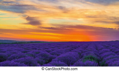 Sunset Over A Field Of Lavender - Time Lapse Of Sunset Over...