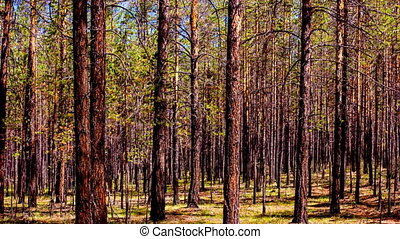 Time lapse of the coniferous forest in the sunny summer day. High definition
