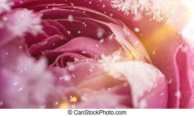 time lapse of the rose freezing, ice crystals grow on the rose in the cold