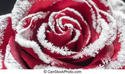 time lapse of the rose freezing, ice crystals grow on the rose in the cold.