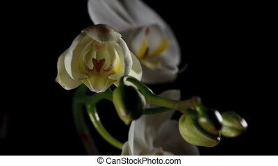 Time-lapse Of White Orchid Opening.