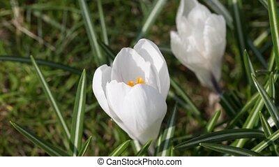 Time lapse  of White Saffron
