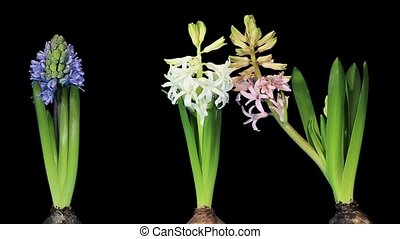 Time-lapse opening hyacinth flower buds ALPHA matte,...