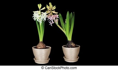 Time-lapse opening hyacinth flower